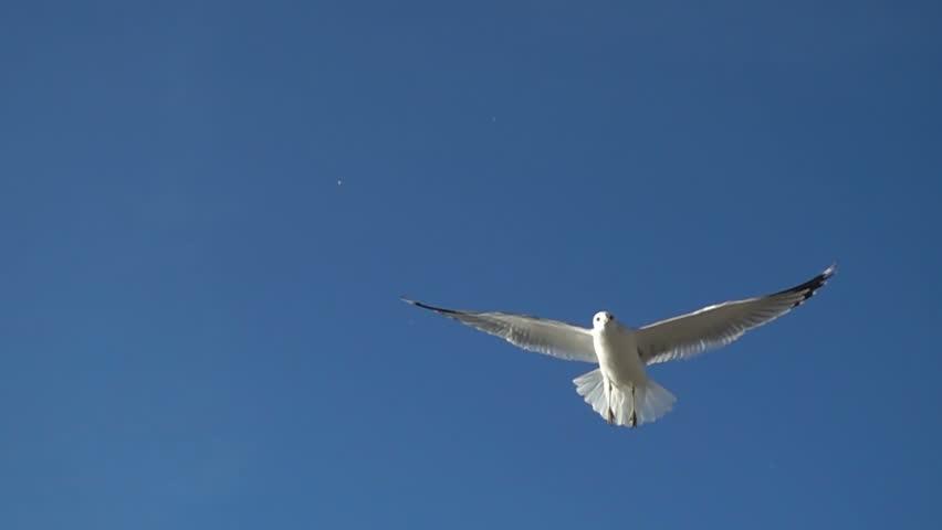 Seagulls in the sky. Slow motion. 480 fps. | Shutterstock HD Video #34357744