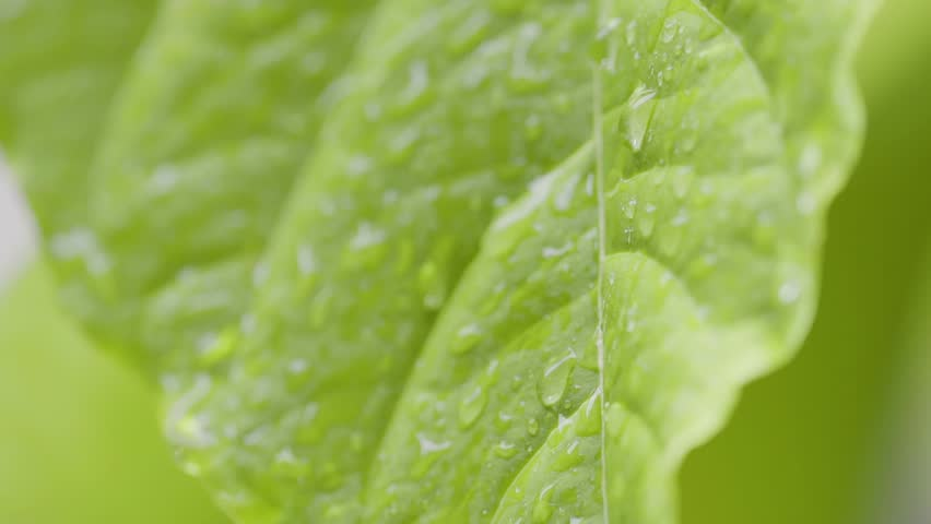 close up of rain drops on abstract tropical leaf in garden in slow motion #34413394