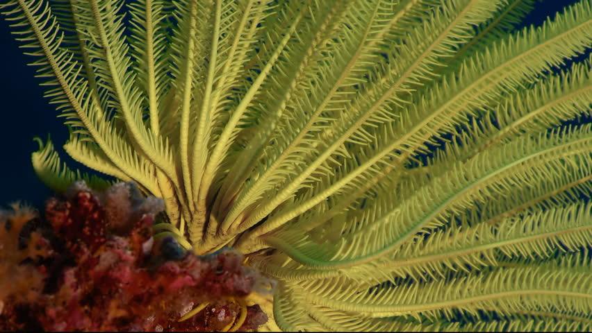 feather star Crinoids  in the tropical sea, WAKATOBI, Indonesia