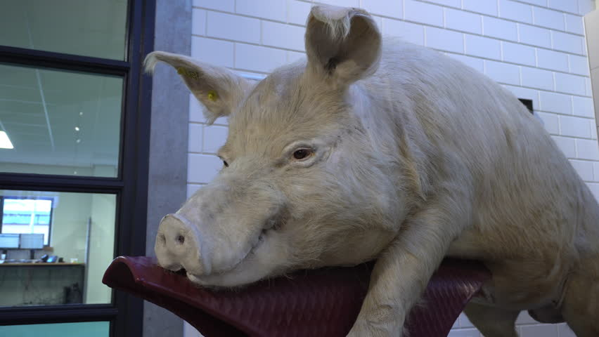 Taxidermy of pig in side