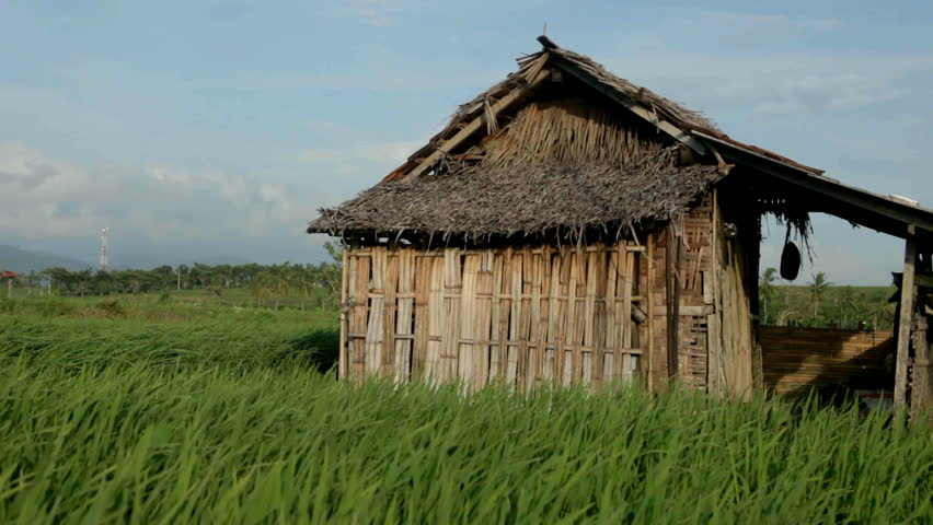 wooden shack in a rice field