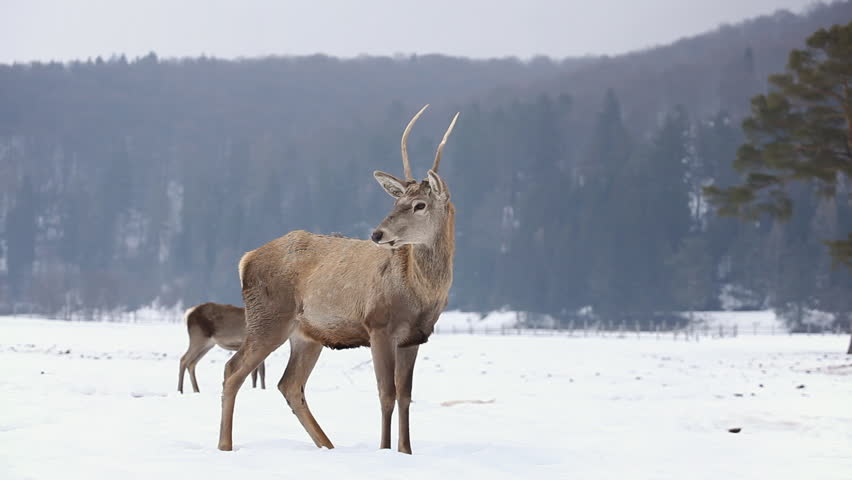 Beautiful Group of Deer in Wildlife, Winter Snow, Male and Female Red Deer
