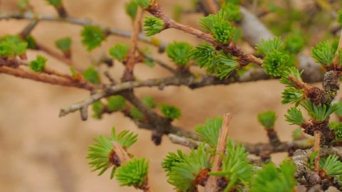 Beautiful young larch leaves closeup of pale green color