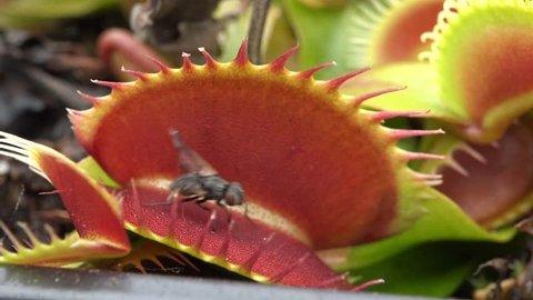 carnivorous plant 4k-fly venus