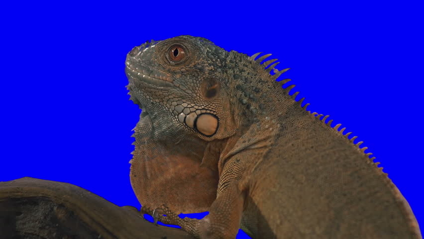 Iguana Opens His Mouth. Green screen effect