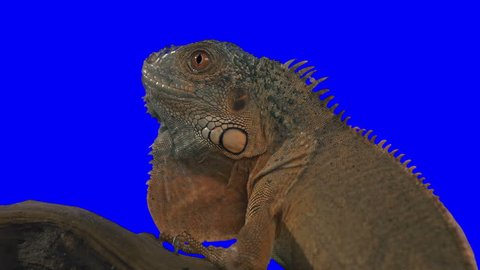 Chroma Key Effect Animal Footage. Green screen. Iguana Opens His Mouth