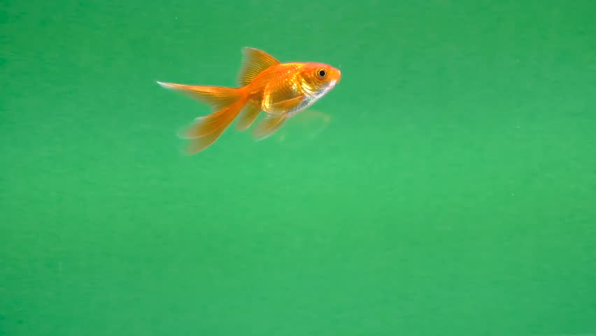 Gold fish swims in the water on green screen