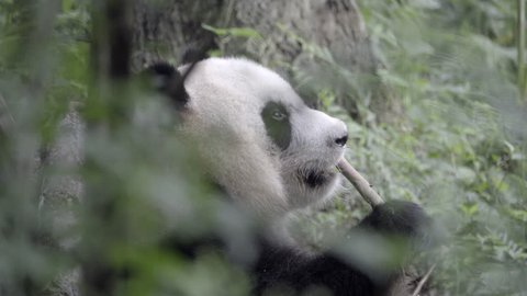 View of a wild Panda chewing at a piece of broken bamboo