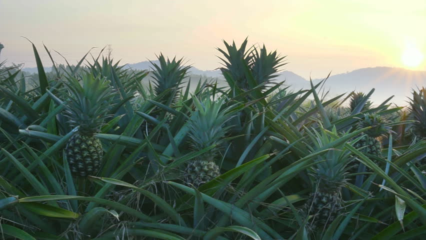 Pineapple plantation on the morning scene , smooth movement video scenes   Shutterstock HD Video #34832644