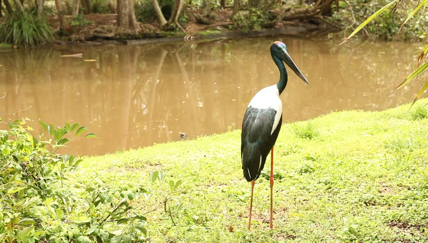 australian jabiru stalk or black necked stalk, standing beside a watering hole