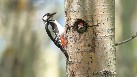 Caring for the offspring - Red woodpecker bird feeding his nestling - profile long shot