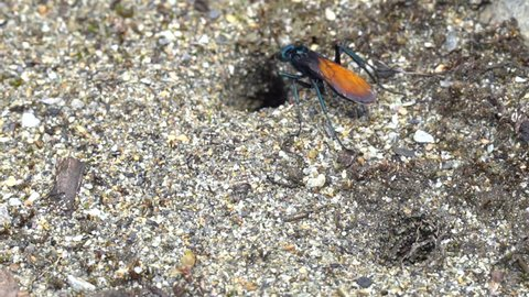A Tarantula Hawk Wasp (Pepsis sp.) searching for spiders on the forest floor on the Amazonian slopes of the Andes in Ecuador