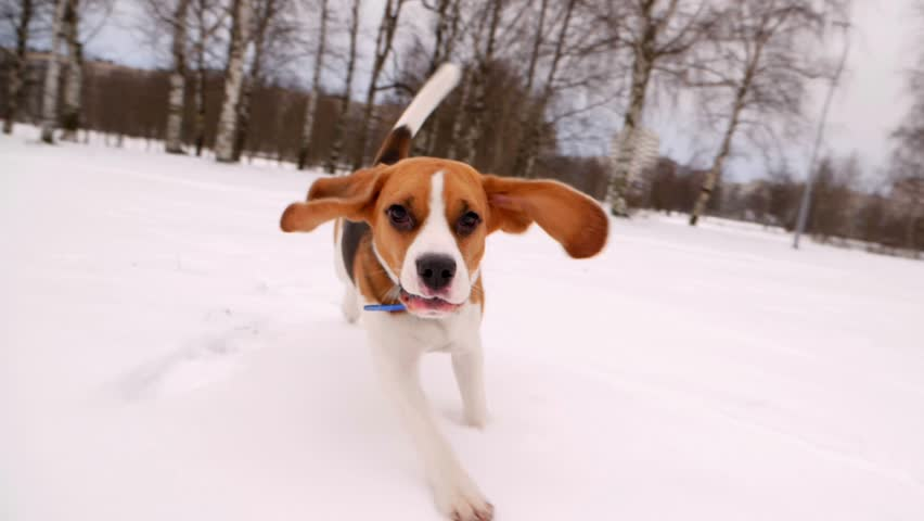 Cute Beagle dog run at snowy field, long ears fly in air, doggy chase and look straight to camera. Winter season, empty city park area. Young pet happy to play and jog around