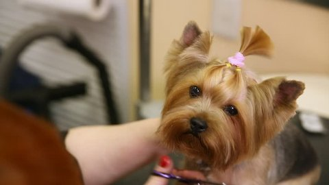 Scissors cut hair on the dog's face. close-up. Master haircuts for pets