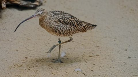 Eurasian curlew (Numenius arquata) is a wader in the large family Scolopacidae. It is one of the most widespread of the curlews, breeding across temperate Europe and Asia.