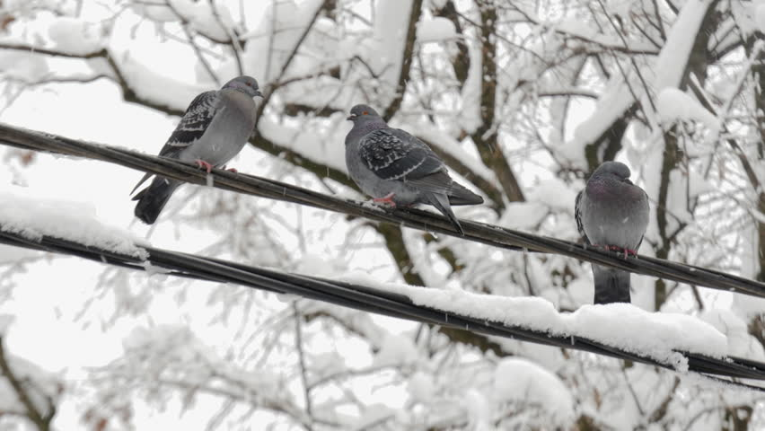 Three grey pigeons standing on electric wire with white snow and then fly away, flock of birds close up, treetop with snowy branches in background, snow falling, snowflakes, animals in winter season.