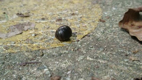 A wood louse is disturbed and it curls like a ball to protect itself. Soon it recovers and quickly moves away.