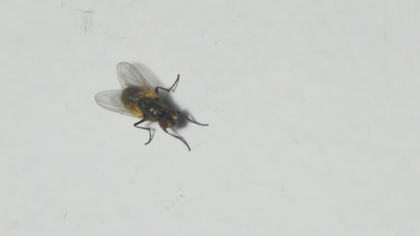 House fly insect preening itself on white background