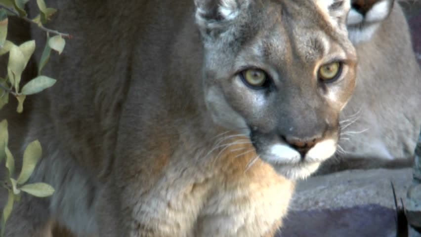 Mountain lion stares intensely, close up, camera pans up, reveals a second mountain lion lurking in desert bush. 1080p