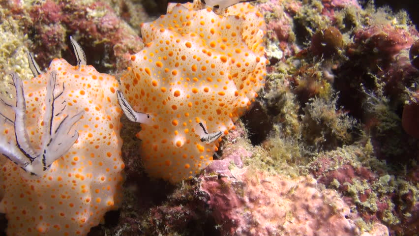 Rare shot of nudibranch mating, including penetration, Clip 5 of 5