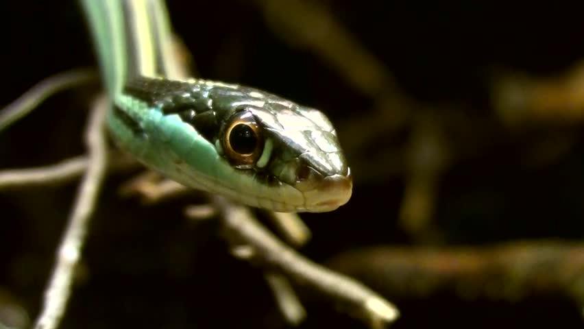 Eastern bands snake (Thamnophis sauritus)