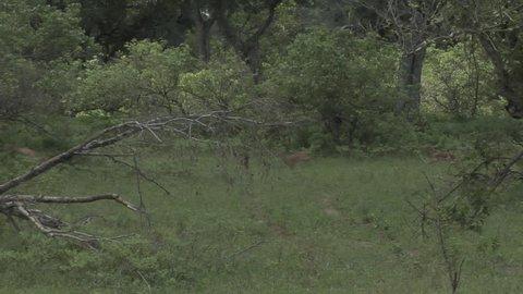 herd of klipspringers run past