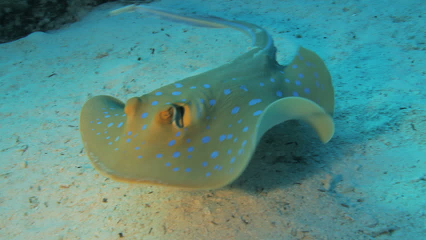 blue spotted ray swimming away