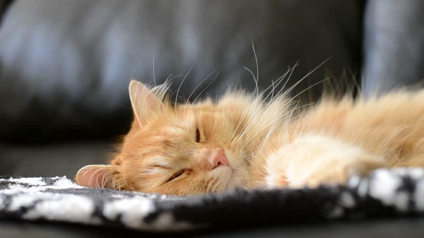 Ginger cat sleeps