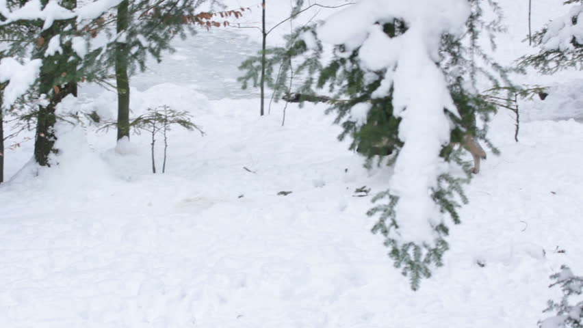 Gray wolf (Canis lupus) walking in the snowy forest in winter and looking at camera.
