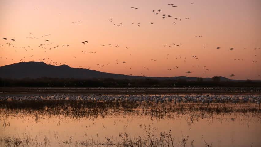 Hundreds of sandhill cranes and snow geese fly in to a lake in the morning. Taken at Bosque del Apache National Wildlife Refuge, New Mexico, USA.