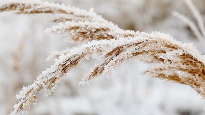 Ice crystals on frozen grass blades in winter