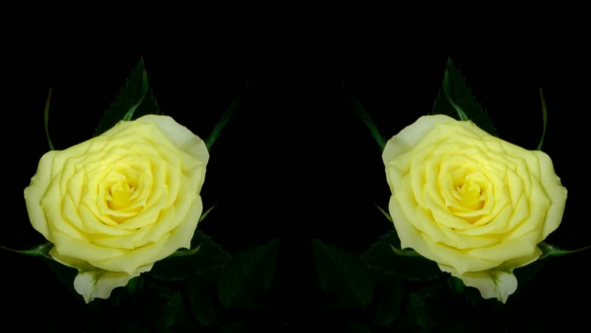 HD1080p Timelapse Of Yellow Rose Growing On Black ...