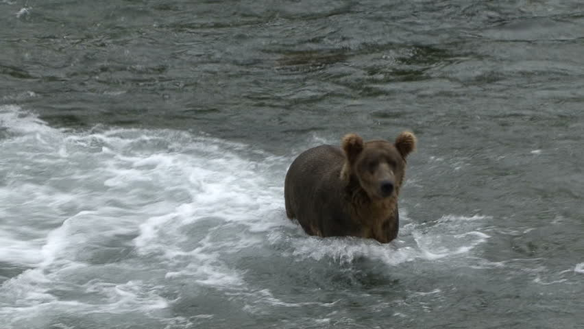 A Brown Bear moves through the water and then stands at Brook Falls in Alaska.