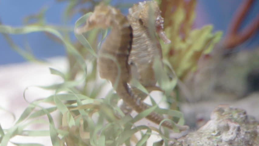 a shot of two sea horses circling eachother in a romantic dance