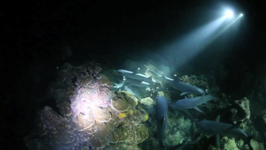 Divers use powerful lights to illuminate a pack of Whitetip reef sharks hunting