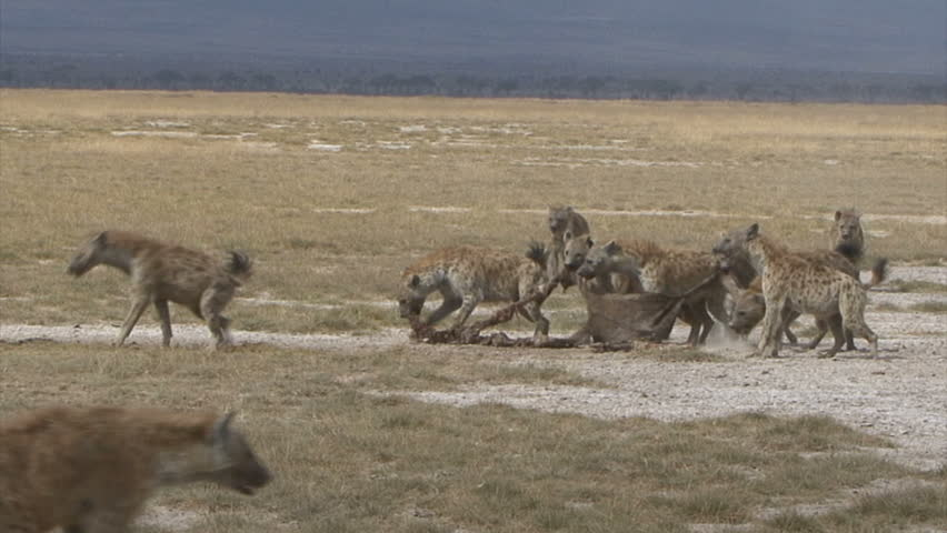 A Hyena Pack is aggressive over a Wildebeest skin in Amboseli National Park - Kenya, Africa. VIEW PORTFOLIO for more wildlife video.
