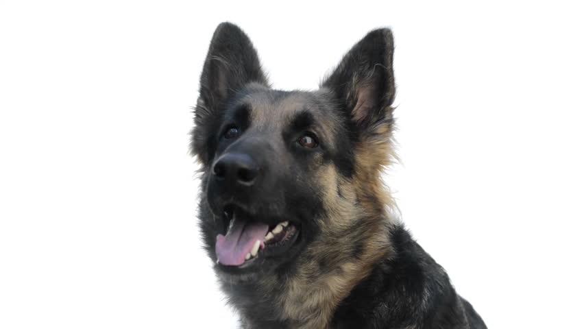 German Shepherd looking around and yawning | Shutterstock HD Video #3811664