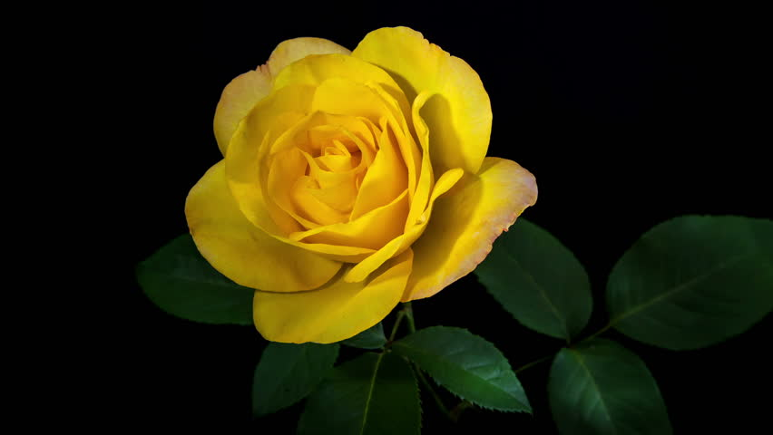 Timelapse Of Yellow Rose Flower Blooming On Black Background