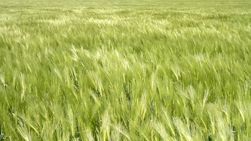 Wheat Field Waves Moved by Summer Wind Pan Nature Background HD