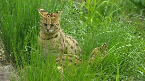 Serval  (Leptailurus serval or Felis serval)  The serval is a wild cat, native to Africa.