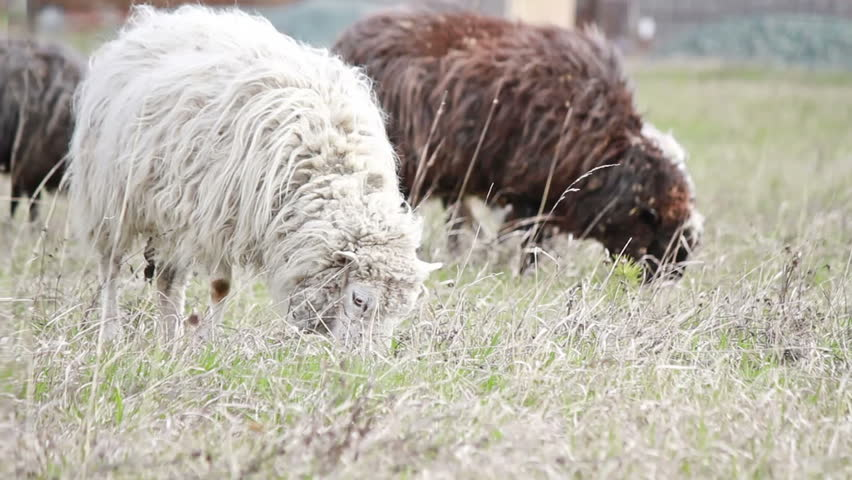 In the foreground is white sheep eating grass