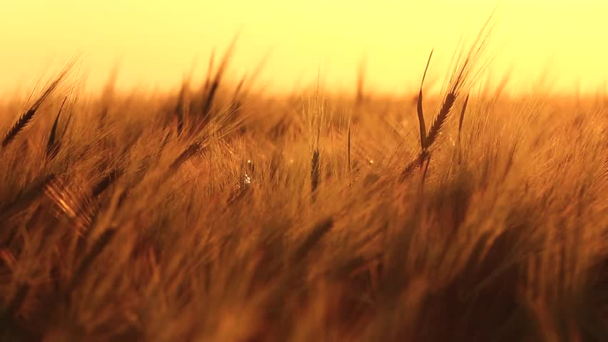 Ears of wheat swaying in the breeze at sunset | Shutterstock HD Video #3935294