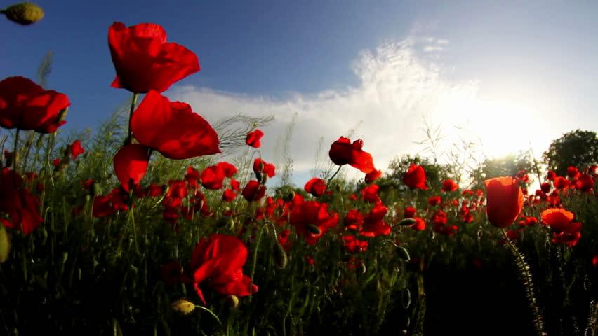 Field of red poppy flowers in early summer (W/fisheye) ...