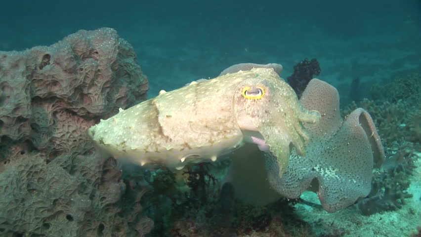 sepia cuttlefish, close shot