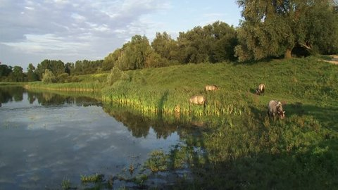 Konik horse stallions grazing at river dike in nature reserve. The Konik is a small horse originating in Poland. Semi-wild herds of koniks can be seen in many nature reserves today.