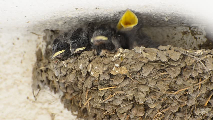 Swallow Baby Chicks Feeding on Nest (HD), Four Swallow Baby chicks on nest