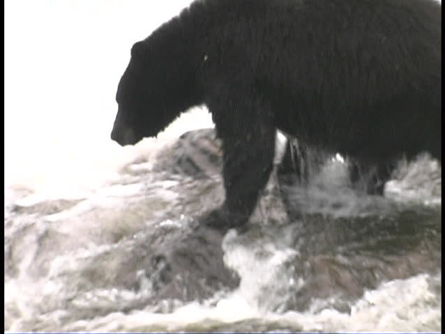 Black bear catching salmon during summer in Alaska USA