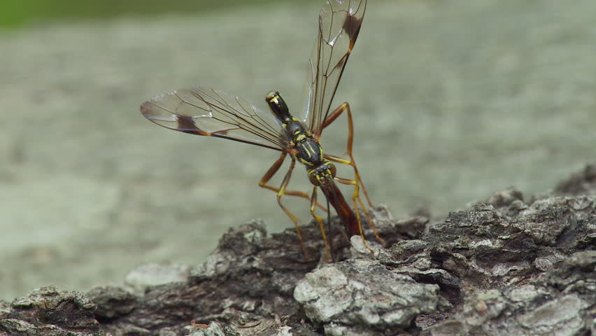 A male Giant Ichneumon (Megarhyssa macrurus) wasp attempts to inseminate a female prior to her emergence in spring from inside a fallen log where she has parasitized a Pigeon Horntail larva. | Shutterstock HD Video #3982054