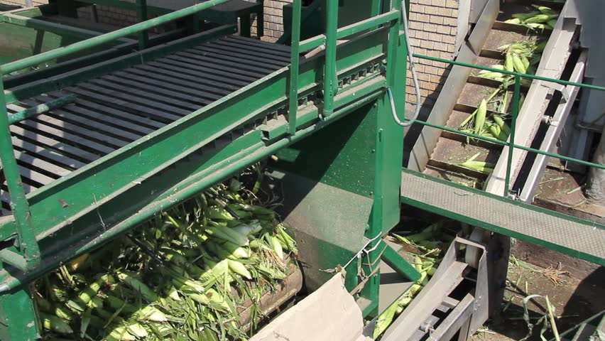 Sweet corn in a food industry. Entry into the plant after harvest for further processing