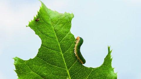 Timelapse video of caterpillars feeding on a leaf, video contains 3 shots/Caterpillars eating a leaf timelapse